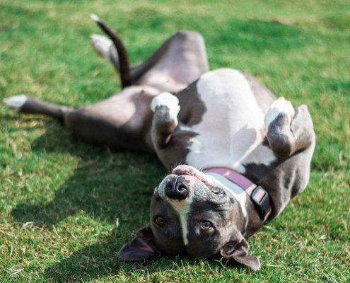 Mixed breed dog lying happily on her back in the grass.
